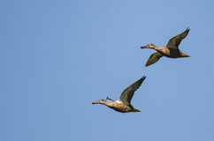 Two Northern Shovelers Flying in a Blue Sky Stock Photography
