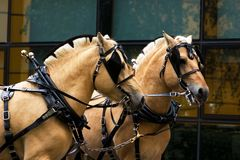 Two norwegian fjord males. Two norvegian fjord males in blinkers staying outdoor Stock Image