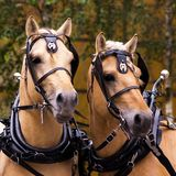 Two norwegian fjord males in blinkers. Staying outdoor Stock Photos