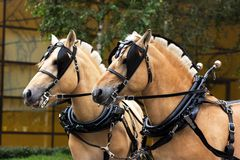 Two norwegian fjord males in blinkers. Staying outdoor Royalty Free Stock Photos
