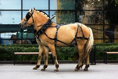 Two norwegian fjord males in blinkers. Staying on road Royalty Free Stock Photos