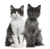 Two Norwegian Forest Cat kitten (4 months old). Norwegian Forest Cat kitten (4 months old) in front of a white background royalty free stock photos