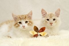 Two norwegian forest cats with a brown paper flower Stock Photos