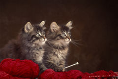 Two norwegian wood kittens Stock Photography
