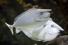 Two nose fishes Royalty Free Stock Images