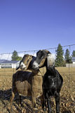 Two Nubian goats. Royalty Free Stock Images