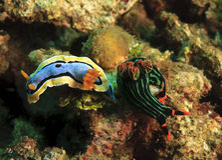 Two nudibranch Stock Photos
