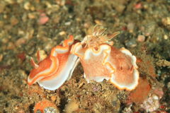 Two nudibranches – Red-margined glossodoris Royalty Free Stock Photo