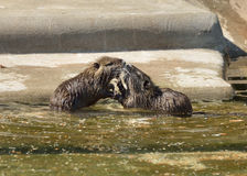 Two nutria cub playing Stock Photo