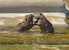 Two nutria cub playing Stock Photography
