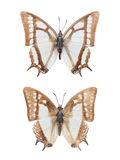 Two nymphalid butterflies isolated Stock Image