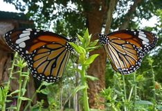Two Nymphalidae butterfly Royalty Free Stock Photo