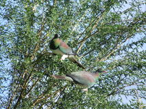 Two NZ Kereru Stock Photo