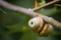 Two oak acorns Stock Images