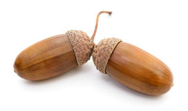Two oak acorns. Stock Photos