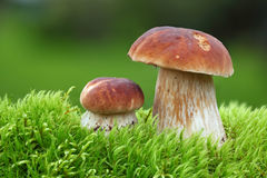 Two Oak Mushrooms Royalty Free Stock Images