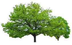 Two oak trees Royalty Free Stock Image