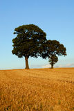 Two oak trees in autumn scene