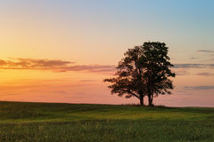 Two oak trees close together Royalty Free Stock Images