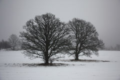 Two oaks in a fog. Royalty Free Stock Photos