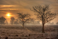 Two oaks on heath at sunrise Royalty Free Stock Image
