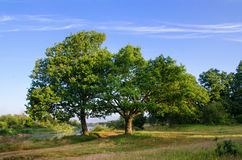 Two oaks on the river bank Stock Images