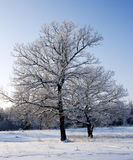 Two oaks in snow big and small. Two different oaks in snow Stock Photography