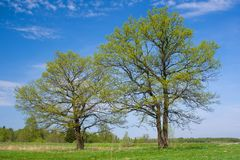 Two oaks on the spring sunny meadow. Royalty Free Stock Images