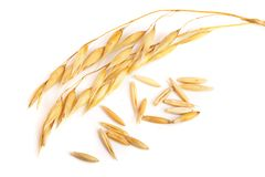 Two oat spike with grains isolated on white background.  Royalty Free Stock Photography