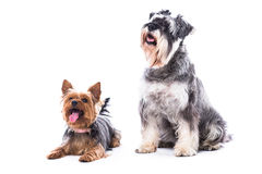 Two obedient dogs sitting to command Royalty Free Stock Photography
