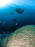 Two Manta rays Hovering over Coral Reefs royalty free stock image