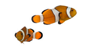 Two Ocellaris clownfish, Amphiprion ocellaris, isolated. On white stock image