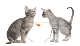 Two Ocicat Cats looking at fishbowl. Two Ocicat Cats, 13 weeks old, looking in goldfish bowl Royalty Free Stock Photography