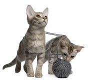 Two Ocicat Cats playing with a ball of yarn. Two Ocicat Cats, 13 weeks old, playing with a ball of yarn Stock Photos
