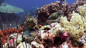 Two octopus making love on the sea reef. Amazing, beautiful underwater world Bali Indonesia and  life of its inhabitants, creatures and diving, travels with stock footage