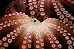 Two octopuses Royalty Free Stock Image