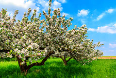 Two old apple trees in bloom on green meadow Stock Photography