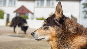 Two old dogs with sad eyes. Old dog with sad eyes rests his head Royalty Free Stock Photo
