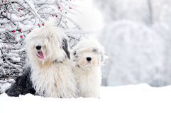 Two old english sheepdogs sitting in winter meadow Royalty Free Stock Photos
