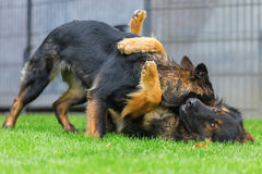 Two Old German Shepherd dogs fighting in the garden Royalty Free Stock Photos