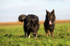 Two Old German Shepherd Dogs on the meadow Stock Photo