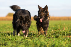 Two Old German Shepherd Dogs on the meadow Royalty Free Stock Photo