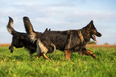 Two Old German Shepherd Dogs on the meadow Stock Photography