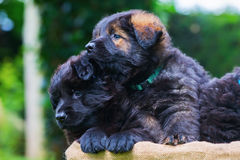 Two Old German Shepherd puppies in a basket. Picture of two Old German Shepherd puppies in a basket stock images