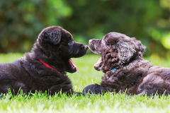 Two old german shepherd puppies on the lawn. Two old german shepherd puppies lying on the lawn stock images