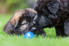 Two Old German Shepherd puppies play on the lawn. Picture of two Old German Shepherd puppies who play on the lawn royalty free stock photo