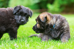 Two old German Shepherd puppies play on the lawn. Picture of two old German Shepherd puppies who play on the lawn royalty free stock image