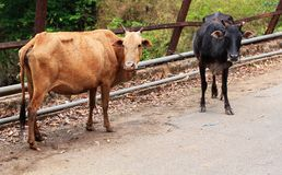 Two old,hungry & weak cows of brown & black color Royalty Free Stock Photos