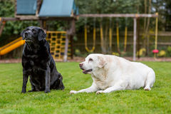 Two old Labradors Royalty Free Stock Images