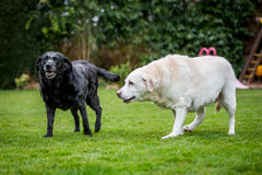 Two old labradors walking together Stock Image